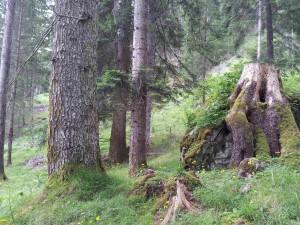 Einzigartige Weisstannenwälder