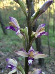 Flore: orchidées - © Aurele Greiner