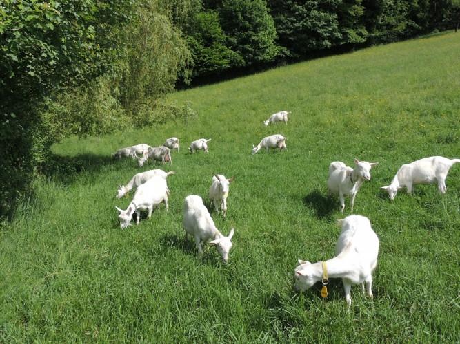 Elfingen: Ziegenhof