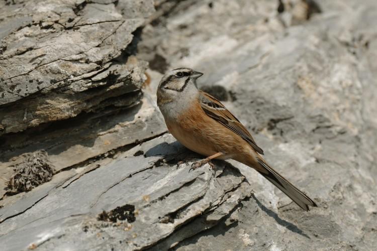 Vögel der Felsensteppe