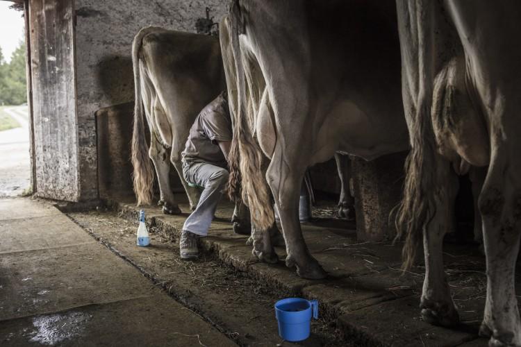 Von der Kuh zum Käse - Erlebnisangebot