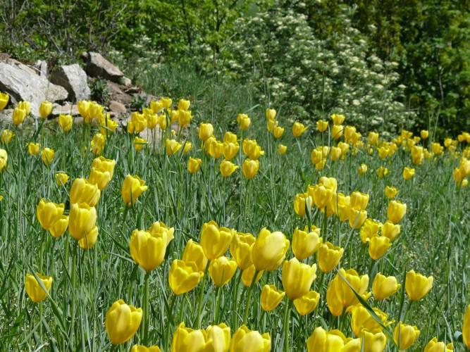 Tulipani di Grengiols