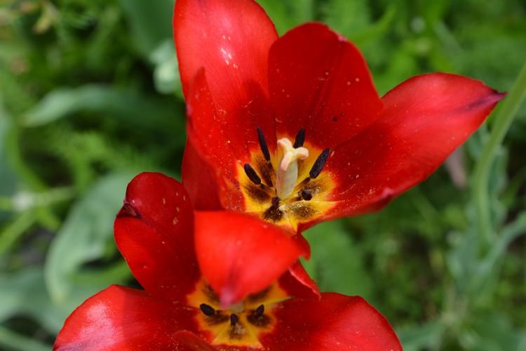 Tag der Grängjer Tulpe