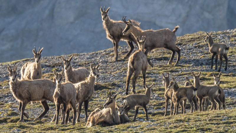 Naturama-Vortrag: Gämse - © ©Schweizerischer Nationalpark/Hans Lozza