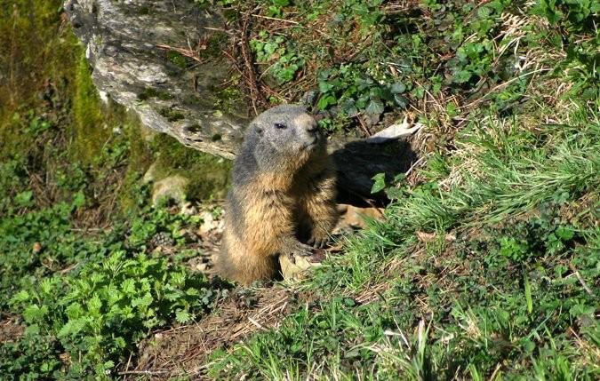 Tieranlage Alpenmurmeltier