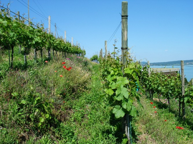 I vini del Lago di Bienne