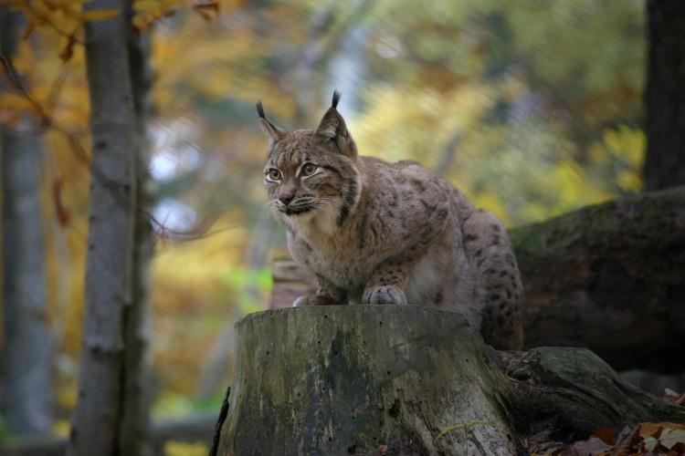 Wildkatze, Luchs und Wolf – Exkursion zu unseren Raubtieren