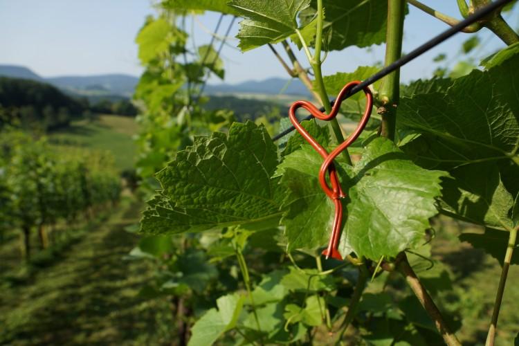 Bözen: Weingut Heuberger