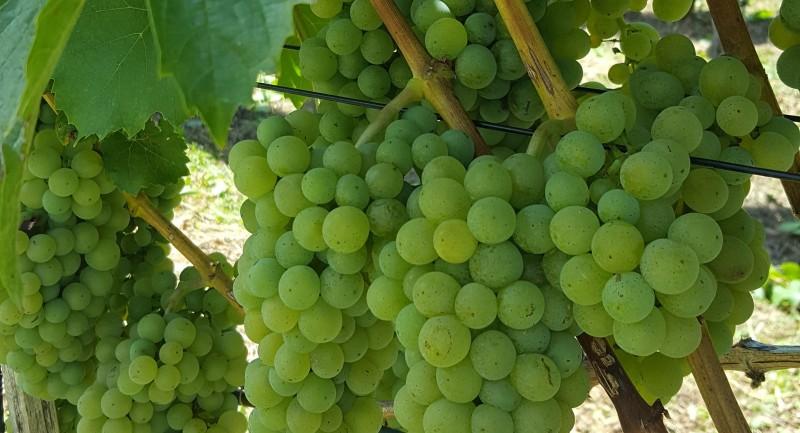 Rüfenach: Weinbau Peter Vogt