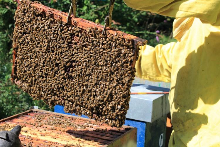 L'apiculture rentre à l'école