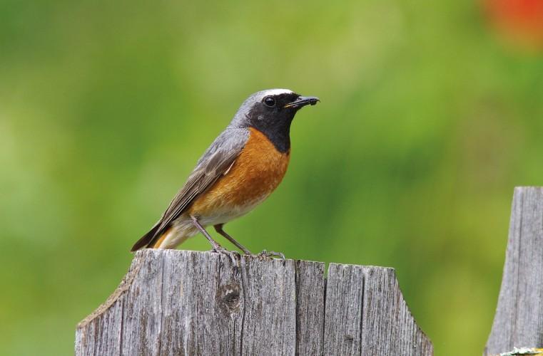 Vögel in naturnahen Gärten