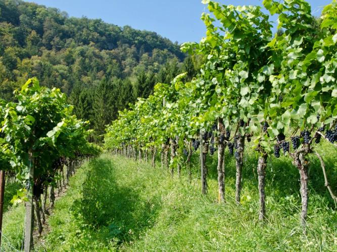 Demeter-Weingut Häfliger