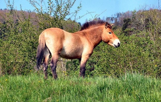 Tieranlage Przewalskipferd
