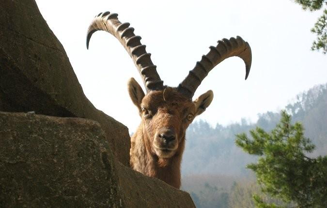 Tieranlage Alpensteinbock