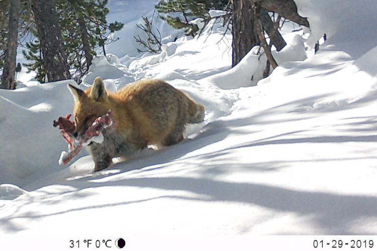 NATURAMA-Vortrag Der Rotfuchs im Nationalpark