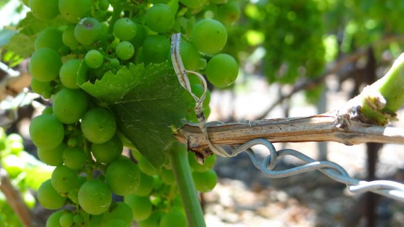 Atelier vignes propres
