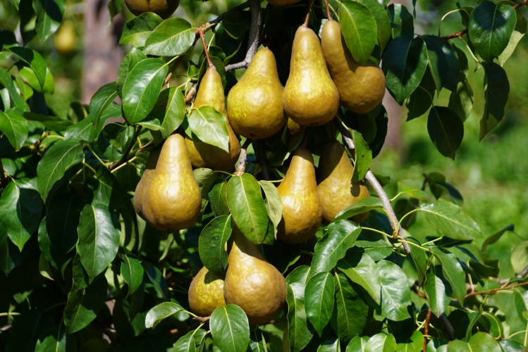 Frutticoltura Treier