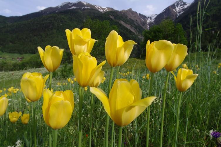Tulipes de Grengiols