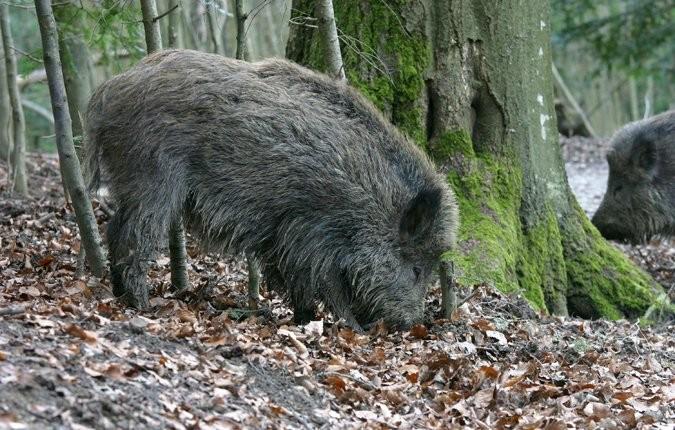Tieranlage Wildschwein