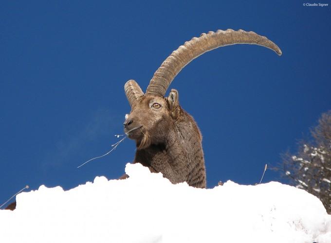 Vortrag Wildtiere im Safiental
