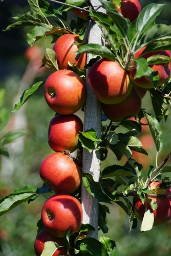 Wölflinswil: Treier Obstbau