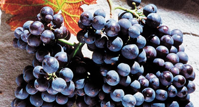 Schinznach-Dorf: Weinbaugenossenschaft Schinznach