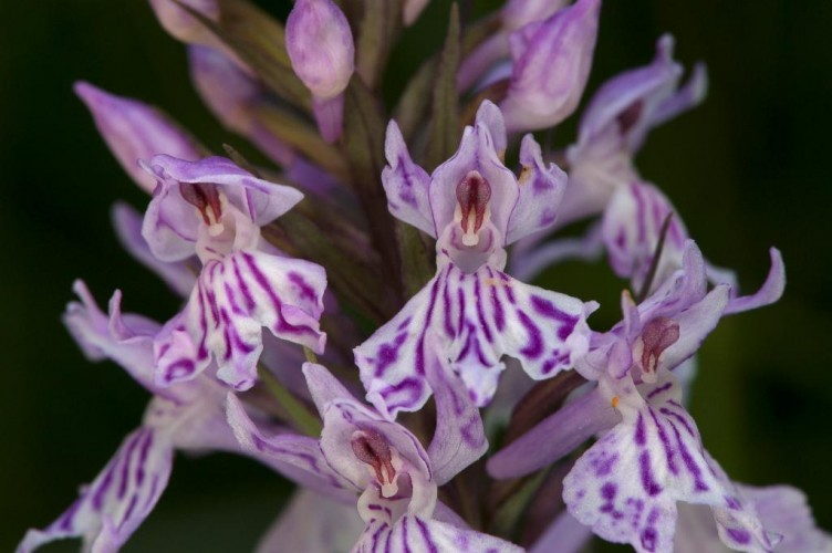 faszinaturExkursion Orchideen
