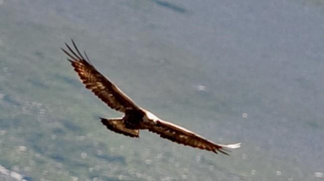 Aire de l'aigle royale