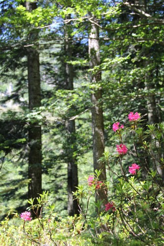 Onsernonetal: die Alpenrose