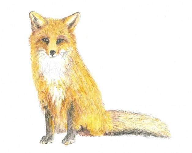 Der schlaue Fuchs