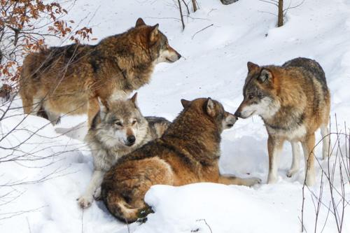Naturama-Vortrag: Wenn Wolf und Bär kommen
