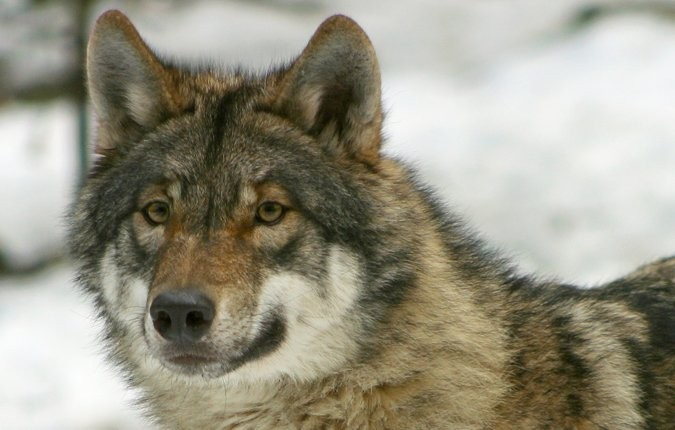 Tieranlage Wolf