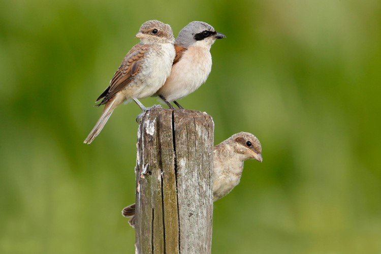 Exkursion Neuntöter mit Beobachtung der Jungvögel