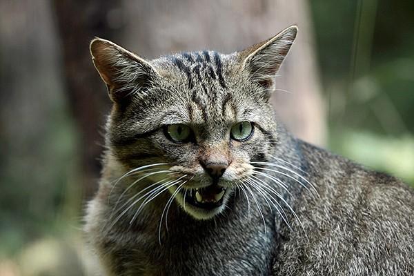 Tieranlage Wildkatze