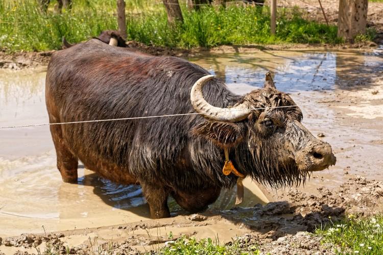 Besuch bei den Wasserbüffeln