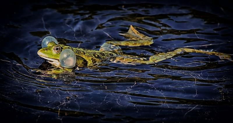 Les grenouilles et Cie