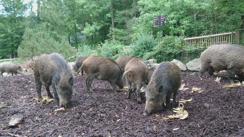 Tierpfleger vor Ort - Wildschwein