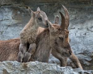 20 Minuten – Steinbock, Wolf und Überraschung - © Wildnispark Zürich