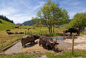 Besuch bei den Wasserbüffeln - © Bergkäserei Marbach