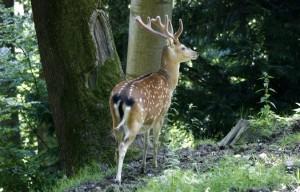 Tieranlage Sikahirsch - © Wildnispark Zürich