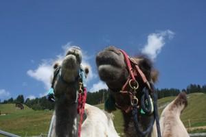 Lama-Trekking im Safiental