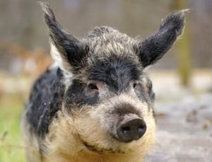 «Wollschweinisches»
