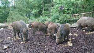Bei den Wildschweinen zu Gast