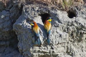 European Bee-eater - © Dolf Roten