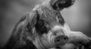 «Wollschweinisches» - © Michéle Krapf
