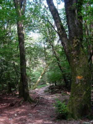 Forêt Maia: les châtaigniers - © Roberto Buffi