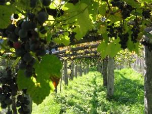 Azienda agricola Vini di Loco