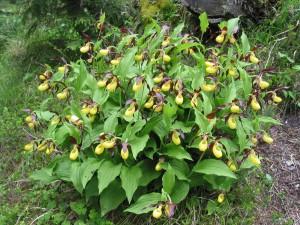 Frauenschuh & andere Orchideen