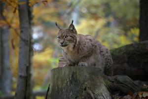 Wildkatze, Luchs und Wolf – Exkursion zu unseren Raubtieren - © Wildnispark Zürich