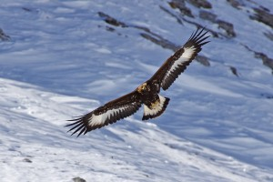 Golden Eagles - © Dolf Roten